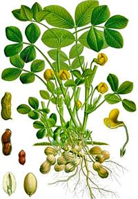 orzech arachidowy
