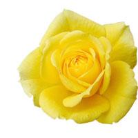 róża na Dzień Kobiet