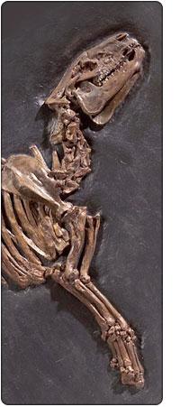 skamielina w Naturalis