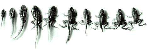 ewolucja żaby