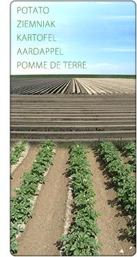 pola ziemniaków