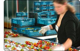 pakowanie pomidorów w szklarni