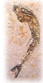 skamieniała ryba