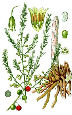 szparagus