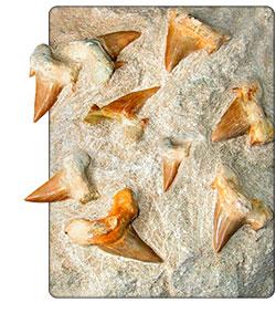 skamieniałe zęby rekina